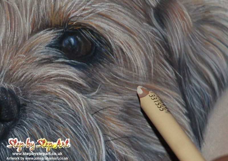 Applying fine fur to a Border Terrier using the stabilo carbOthello cream 105 pencil