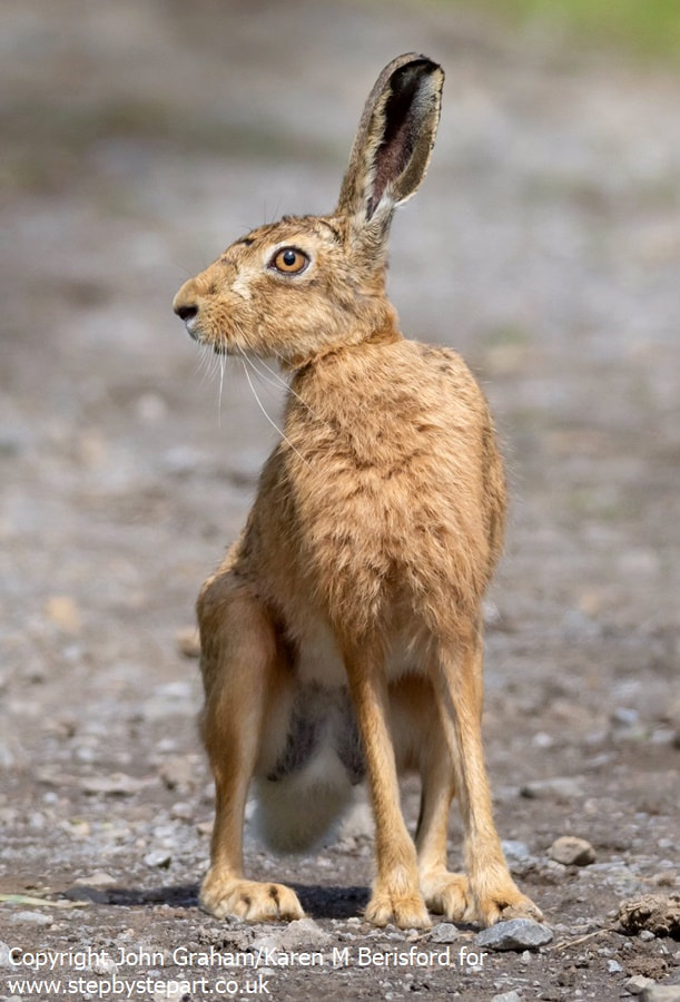 Hare photograph taken in Northumberland UK by John Graham