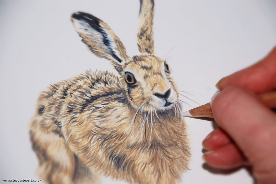 Hare drawing in coloured pencils for step by step art inclusion in March 2021 colored pencil magazine