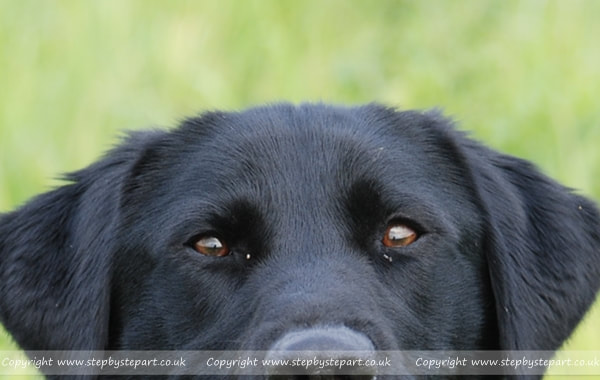 Black Labrador dog photograph