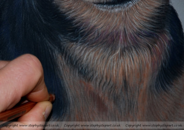 applying fur detail on a pastel pencil terrier dog
