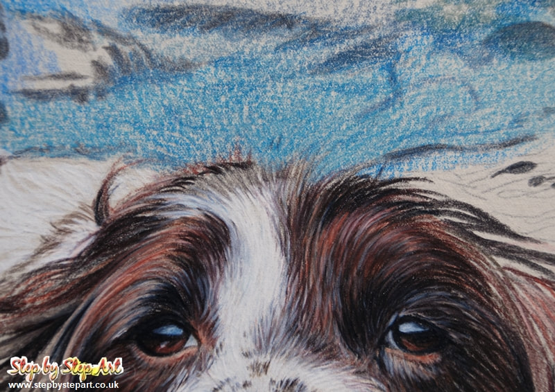 Detail of a springer spaniel swimming in water created in coloured pencil on Somerset printmaking paper