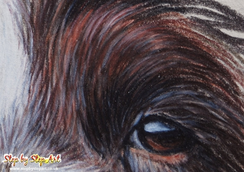 Springer Spaniel eye in coloured pencils
