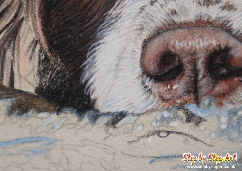Coloured pencil drawing of a springer spaniel nose on somerset printmaking paper newspaper grey