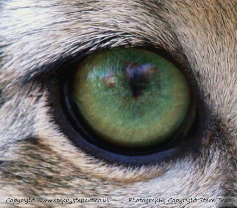 Snow Leopard eye photograph taken by Steve Tracy